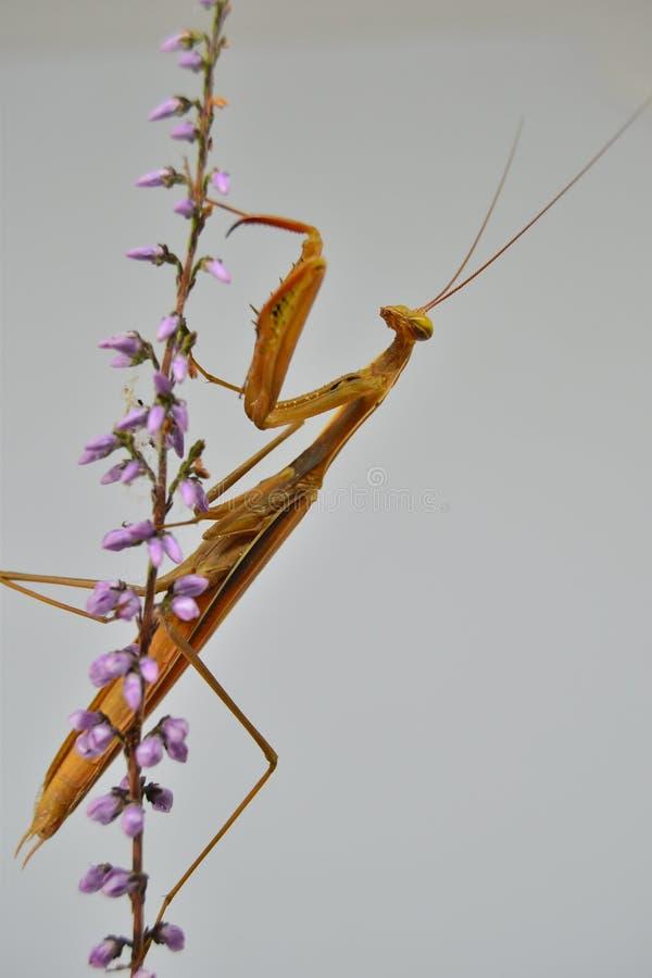mantis στοκ φωτογραφίες