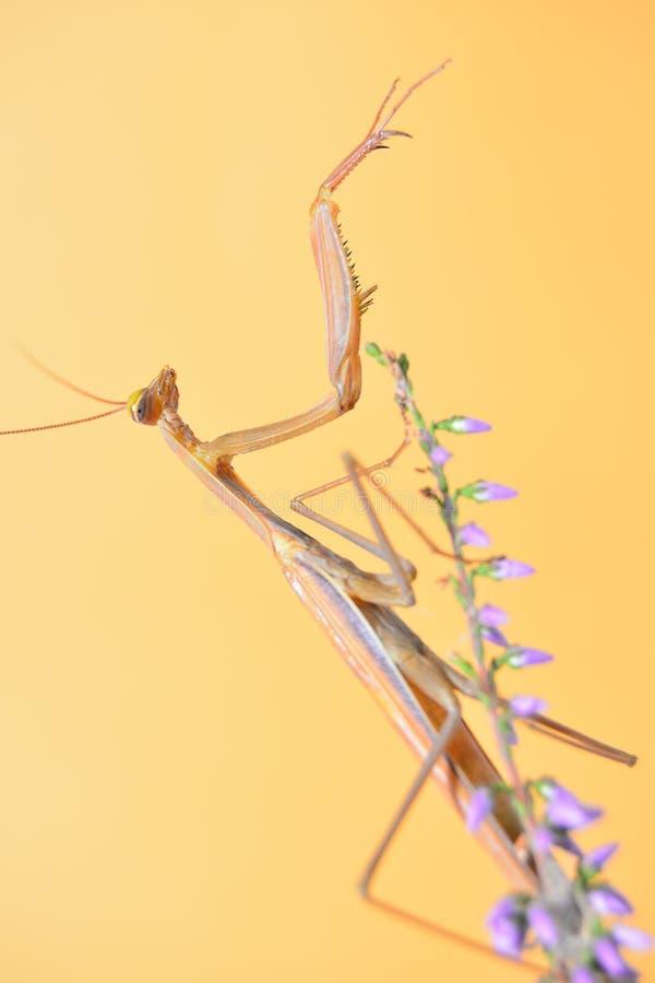 mantis στοκ εικόνα με δικαίωμα ελεύθερης χρήσης