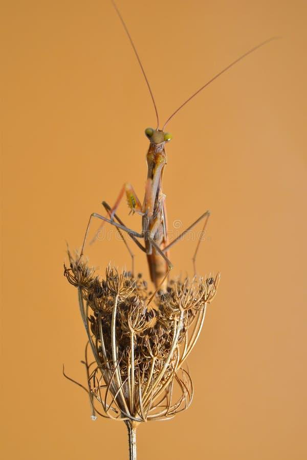 mantis stock fotografie