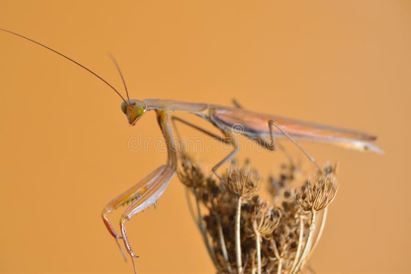 mantis στοκ φωτογραφία με δικαίωμα ελεύθερης χρήσης