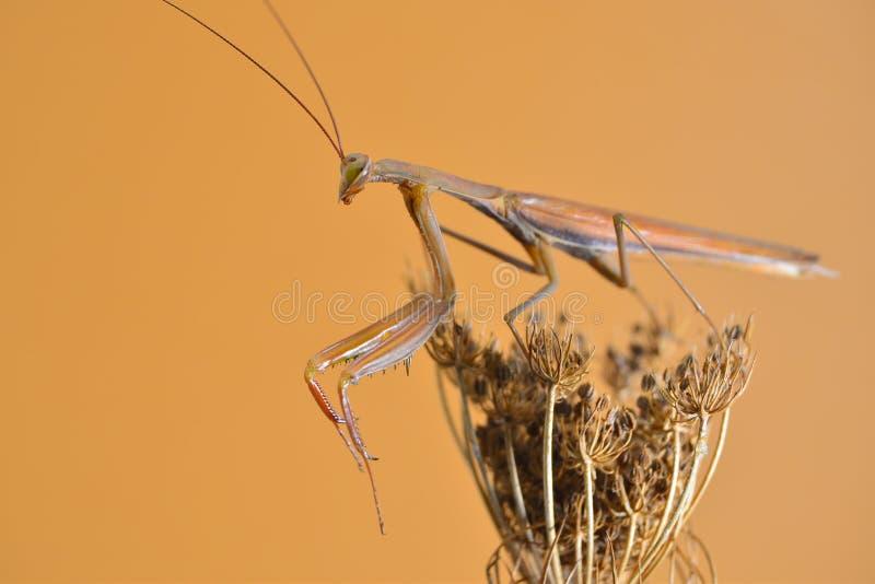 mantis royalty-vrije stock afbeeldingen
