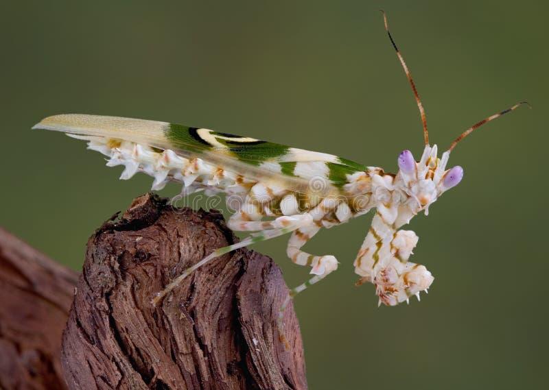 mantis 8 spiny стоковые фото