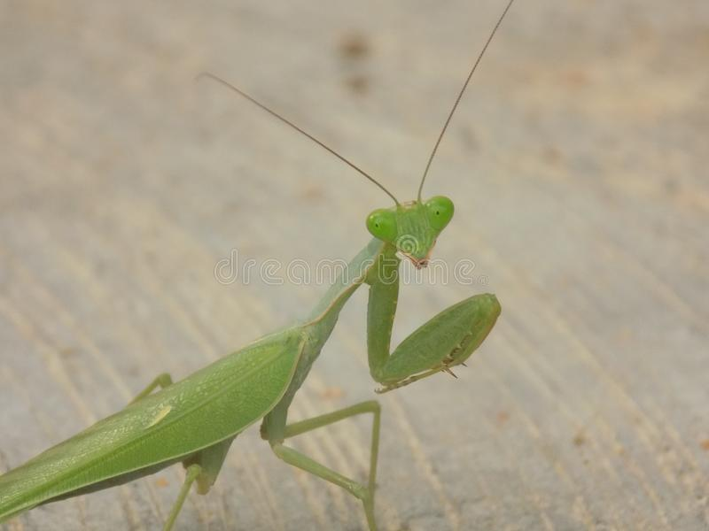 mantis image libre de droits
