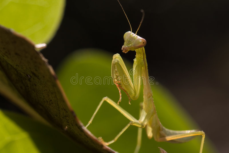 Mantis. I captured in winter season royalty free stock photo