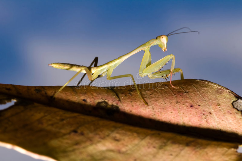 Mantis. I captured in winter season royalty free stock photography