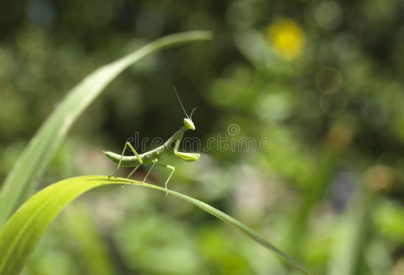 mantis images libres de droits