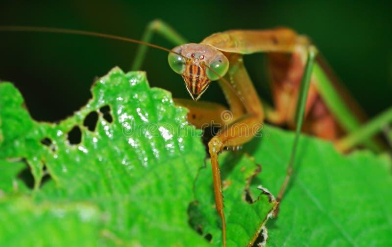 Mantis attaquant image stock