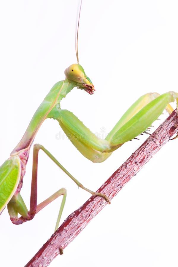 Mantis climb up royalty free stock photo