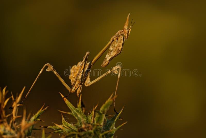 Mantis Conehead - pennata Empusa, palo mantis στα ισπανικά, γένος Empusa Βρήκε στην Ισπανία, Πορτογαλία, Ιράν, Γαλλία, Λίβανος στοκ εικόνες με δικαίωμα ελεύθερης χρήσης