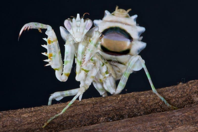 Mantis da flor fotos de stock