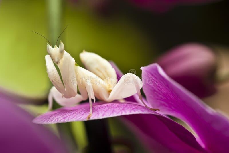 Mantis da orquídea fotografia de stock royalty free