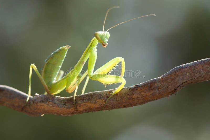 Mantis de beauté. images stock