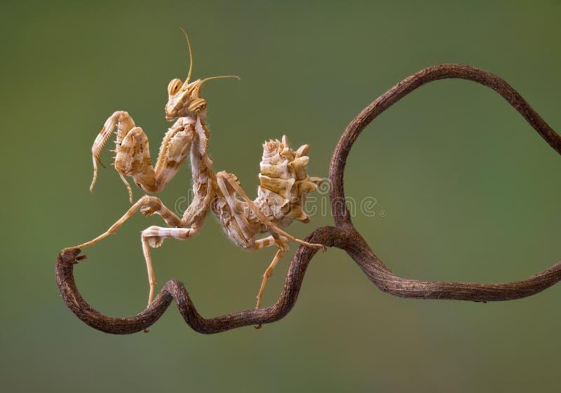 Mantis de fleur de diable sur la vigne images stock