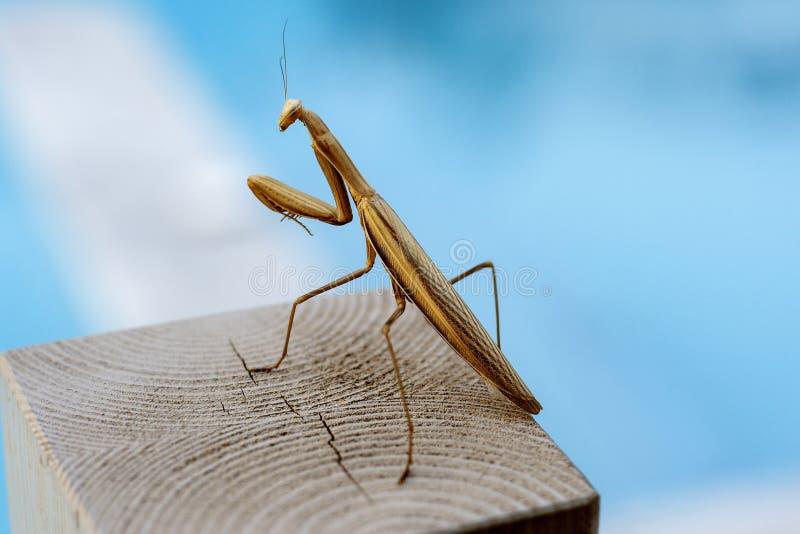 Mantis de prière photos libres de droits