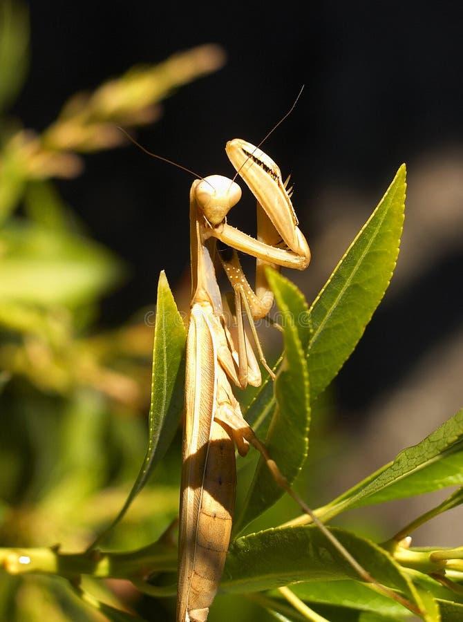 Mantis de prière photos stock