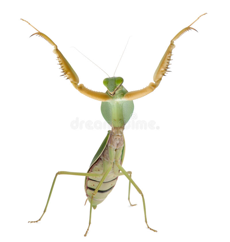 Mantis de prière femelle, Rhombodera Basalis photos libres de droits
