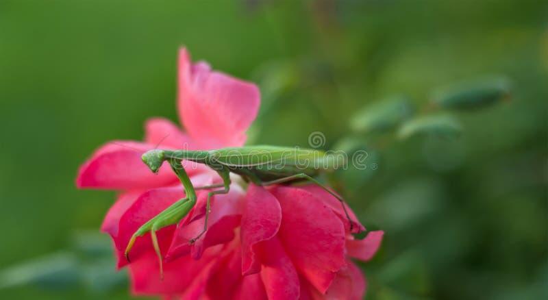 Mantis de prière sur Rose rose photo libre de droits