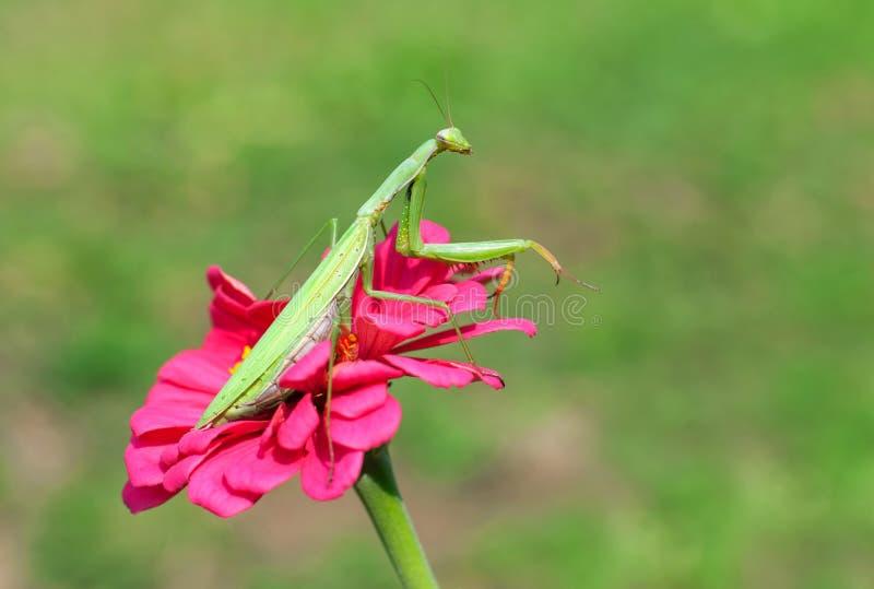 Mantis de prière sur une fleur images stock