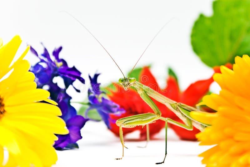 Mantis del giardino fotografie stock libere da diritti