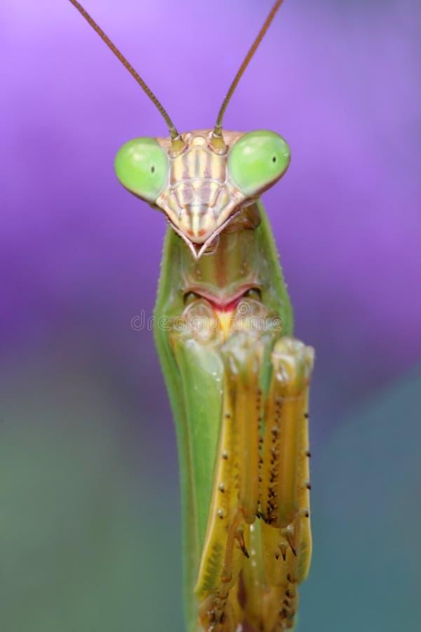 Mantis di preghiera fotografia stock