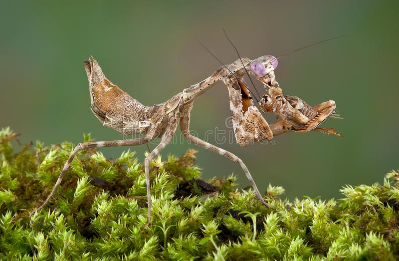 Mantis eating cricket. A female budwing mantis is eating a cricket she caught stock photography