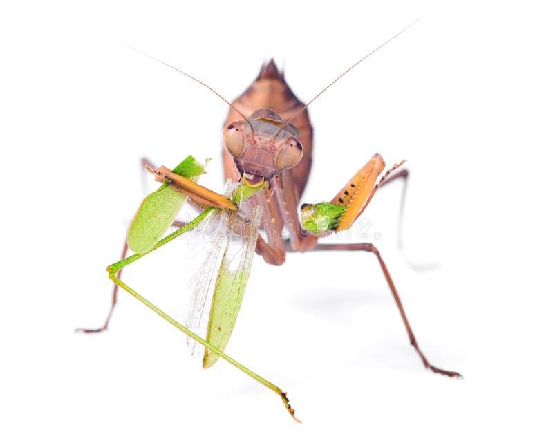 Mantis eats locust royalty free stock images