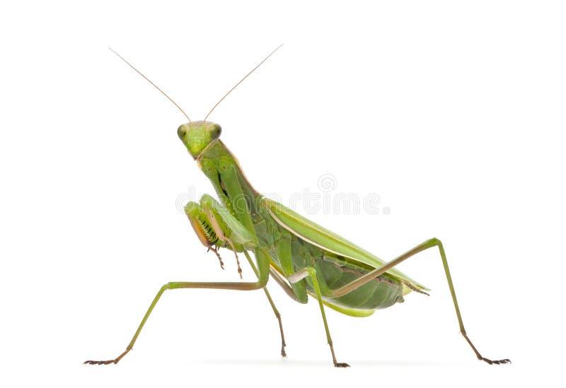 Mantis européen femelle ou Mantis de prière, Mantis images stock