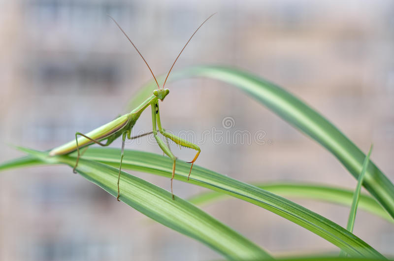 Mantis. The European mantis or Mantis religiosa is a large hemimetabolic insect in the family of the Mantidae,which is the largest family of the order Mantodea stock image