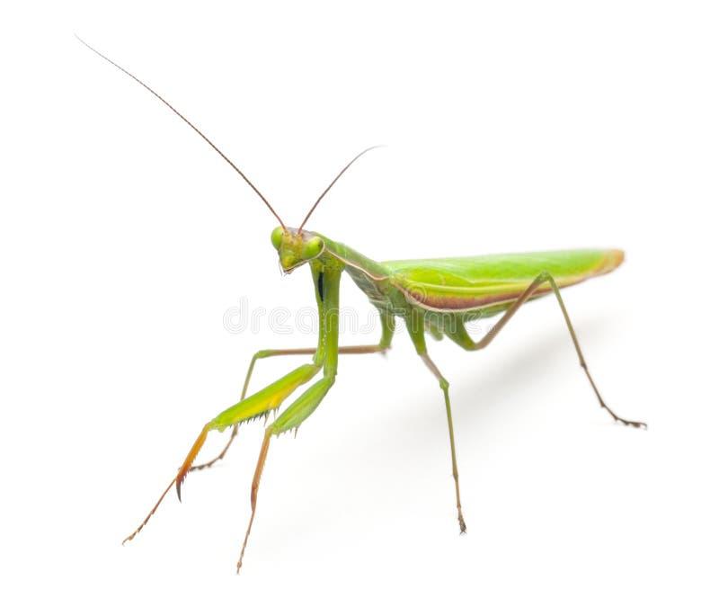 Mantis europeu fêmea ou Mantis Praying, Mantis imagens de stock royalty free