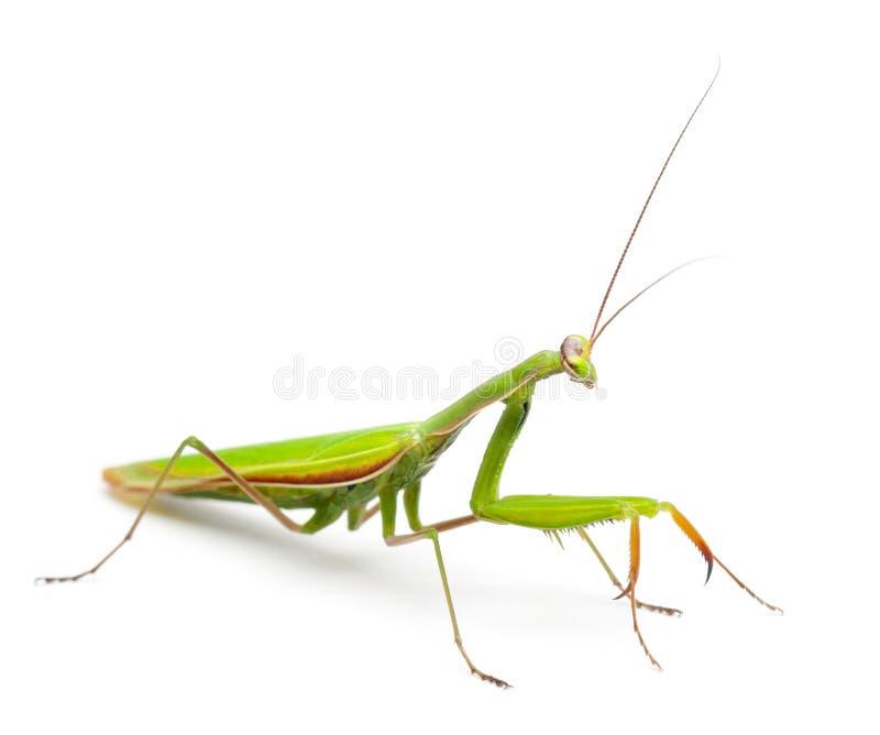 Mantis europeu fêmea ou Mantis Praying, Mantis imagens de stock
