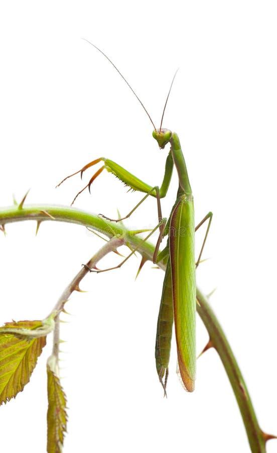 Mantis europeu fêmea ou Mantis Praying, Mantis imagem de stock royalty free