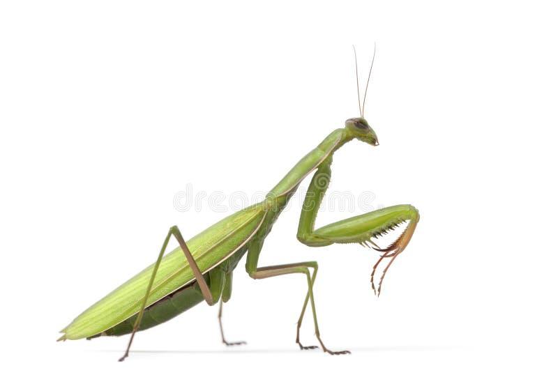 Mantis europeu fêmea ou Mantis Praying, Mantis fotos de stock royalty free