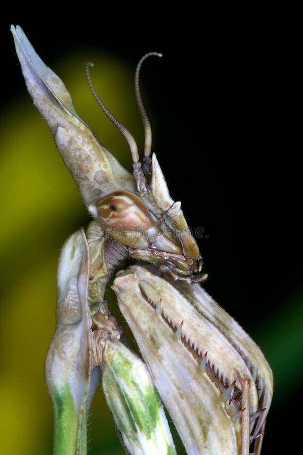 mantis fasciata empusa στοκ εικόνες