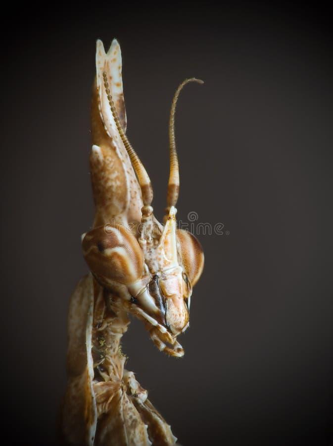 mantis fasciata empusa στοκ φωτογραφίες με δικαίωμα ελεύθερης χρήσης