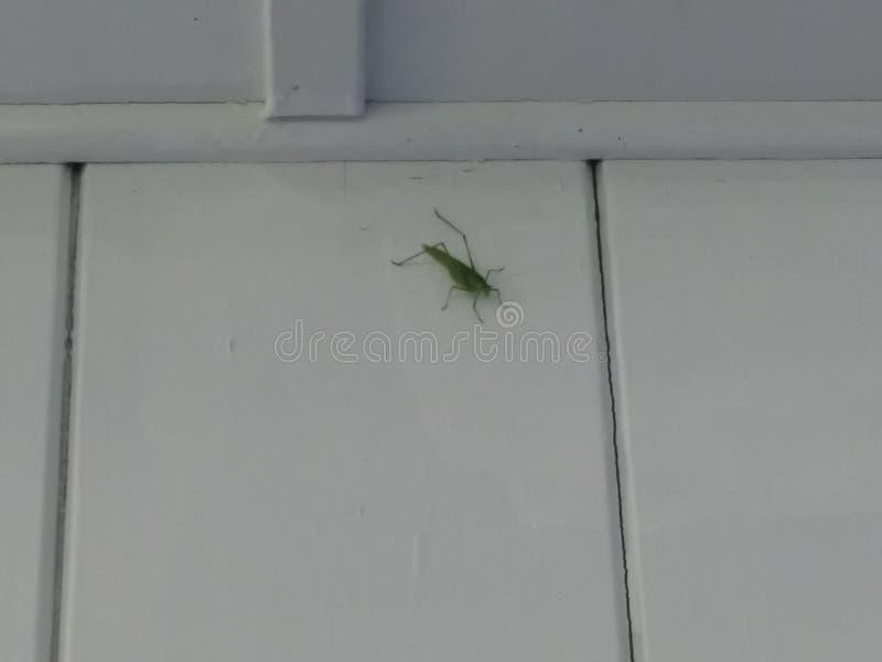 mantis royalty-vrije stock foto