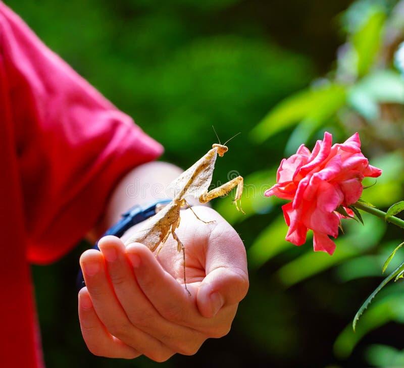 Mantis inoperante da folha fotos de stock