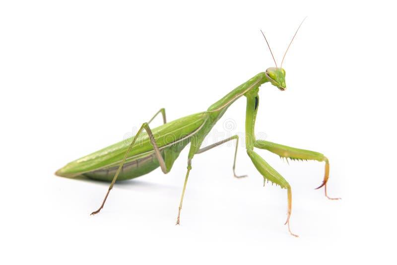 Mantis isolado em um fundo branco fotografia de stock royalty free