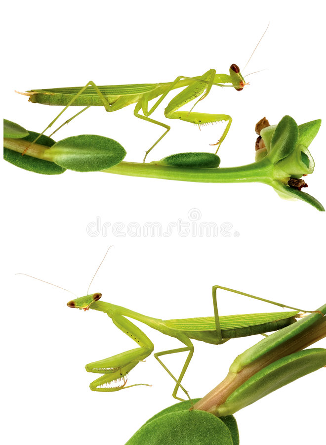 Free Mantis Isolated On White Royalty Free Stock Images - 6194279
