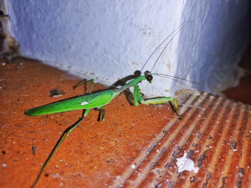 mantis foto de stock