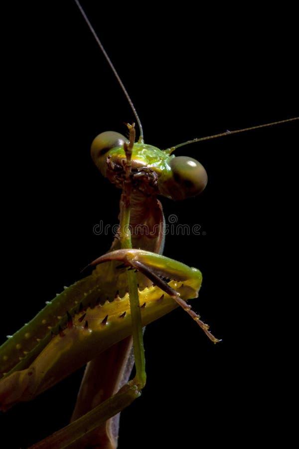 Mantis, macro photography common green mantis or pray mantis. stock photos