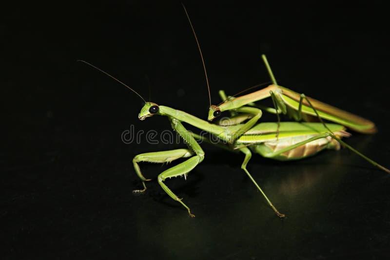 Mantis Mating royalty free stock images
