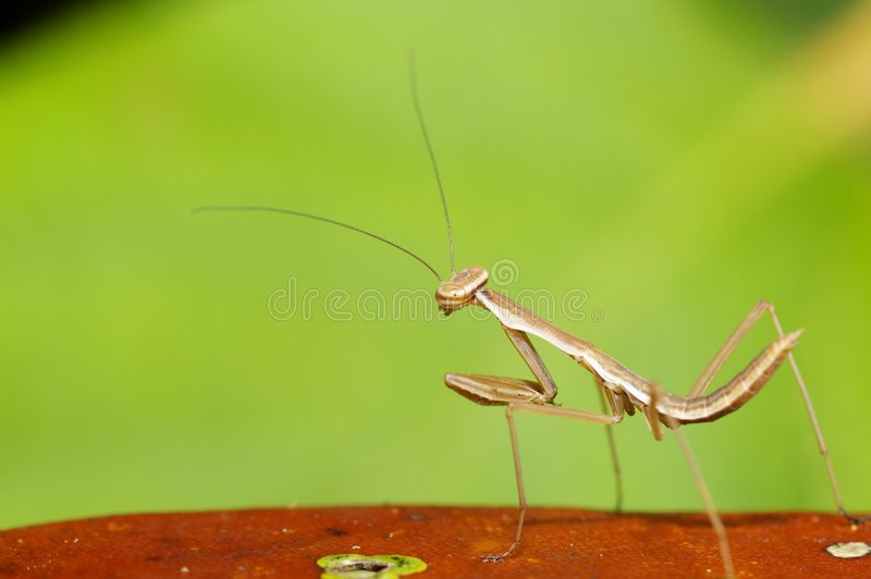Mantis mix with green color. Nice color with Mantis mix with green color stock photos