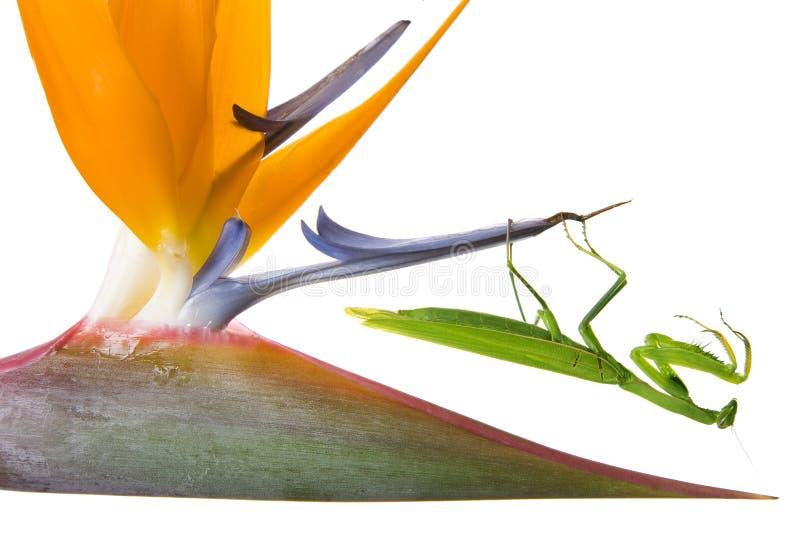 Mantis na flor fotografia de stock