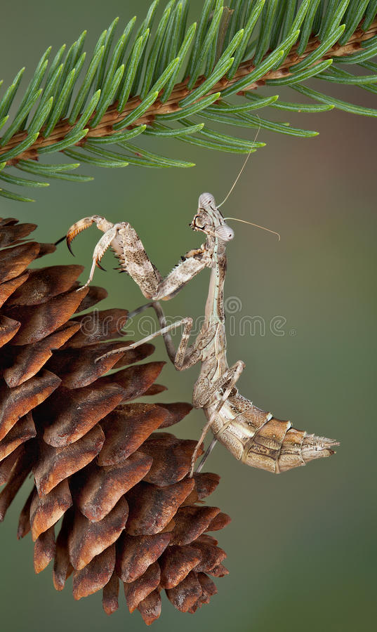 Mantis On Pine Cone Royalty Free Stock Photography