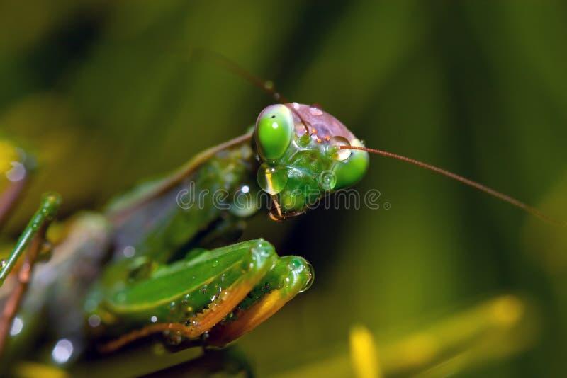 Mantis pleurant photographie stock libre de droits