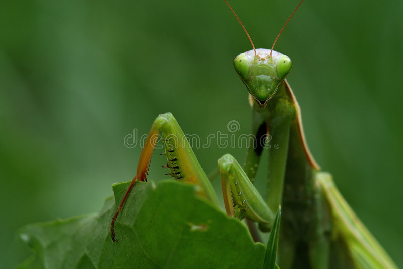 Mantis Praying foto de stock royalty free