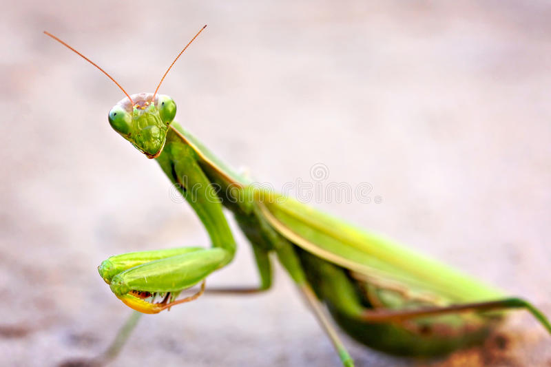 Mantis Praying foto de stock