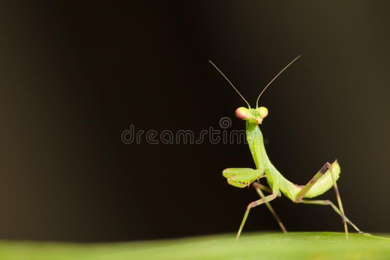 Mantis Praying imagens de stock