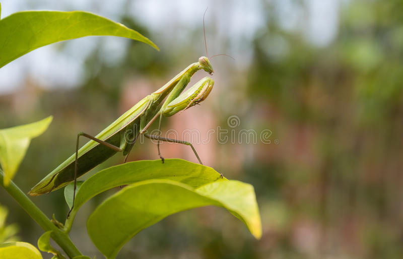 Mantis Praying foto de stock