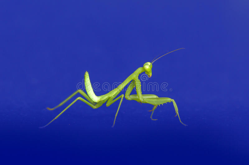 preying mantis isolated on blue background stock images